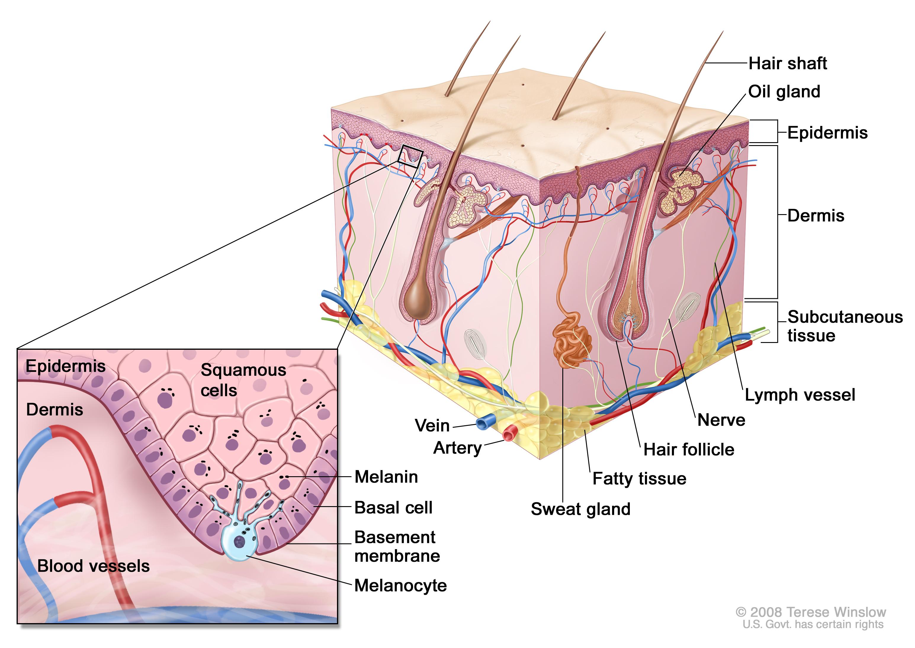 Genetics of Skin Cancer (PDQ®) (Health professionals) - Siteman ...