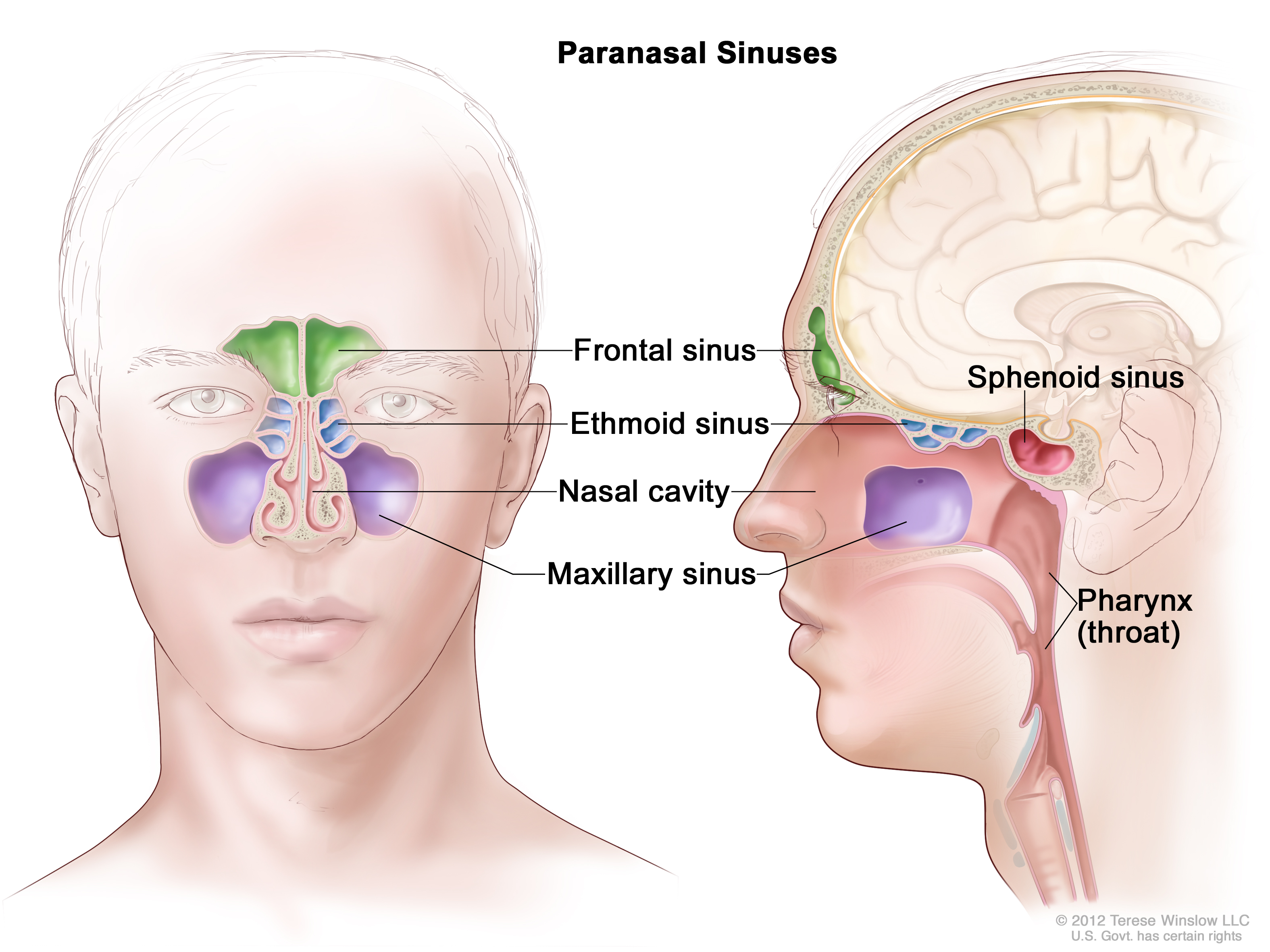 maxillary sinus (Patient) - Siteman Cancer Center