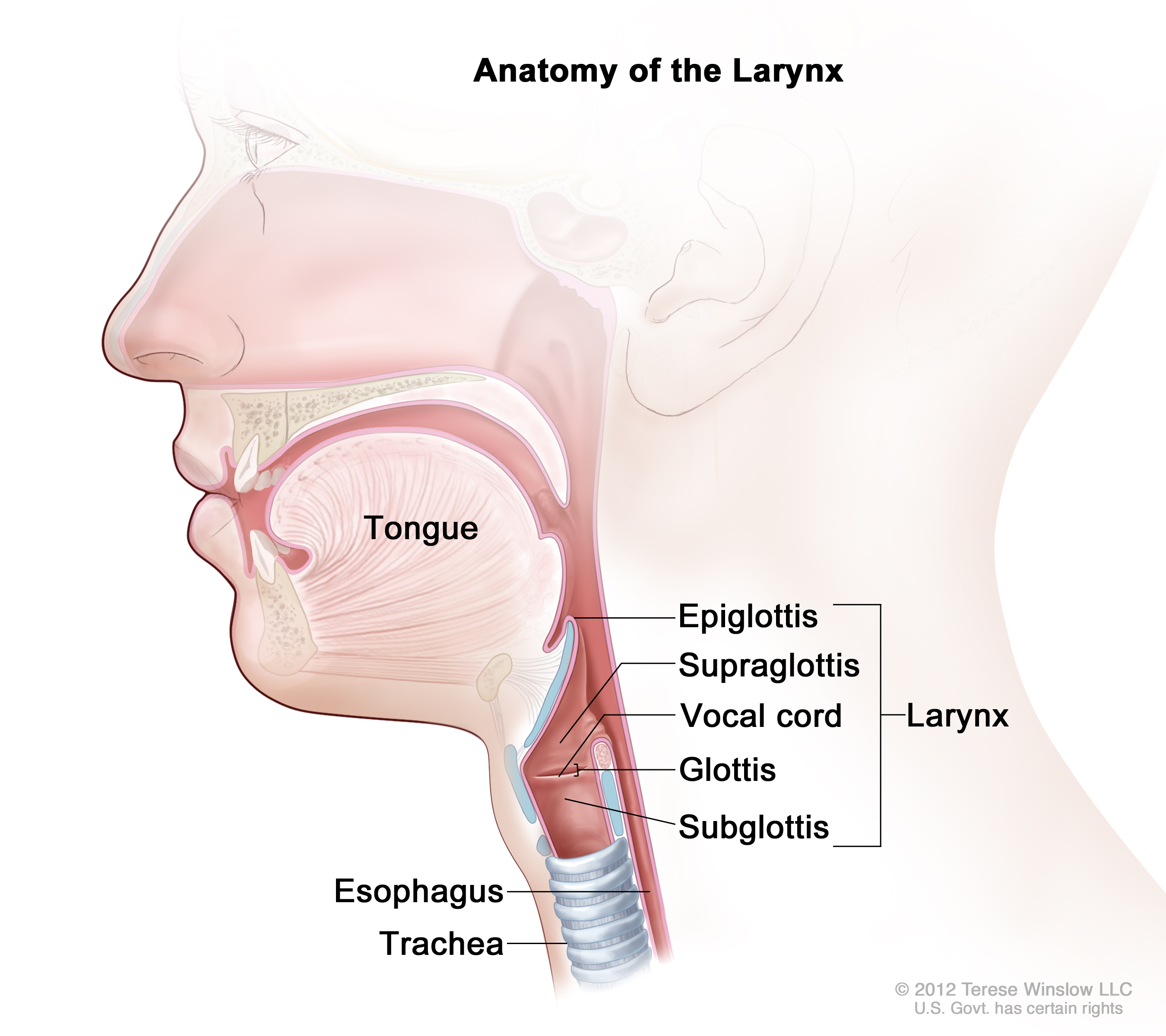 Larynx Stock Photos and Pictures Getty Images Pictures of the larynx