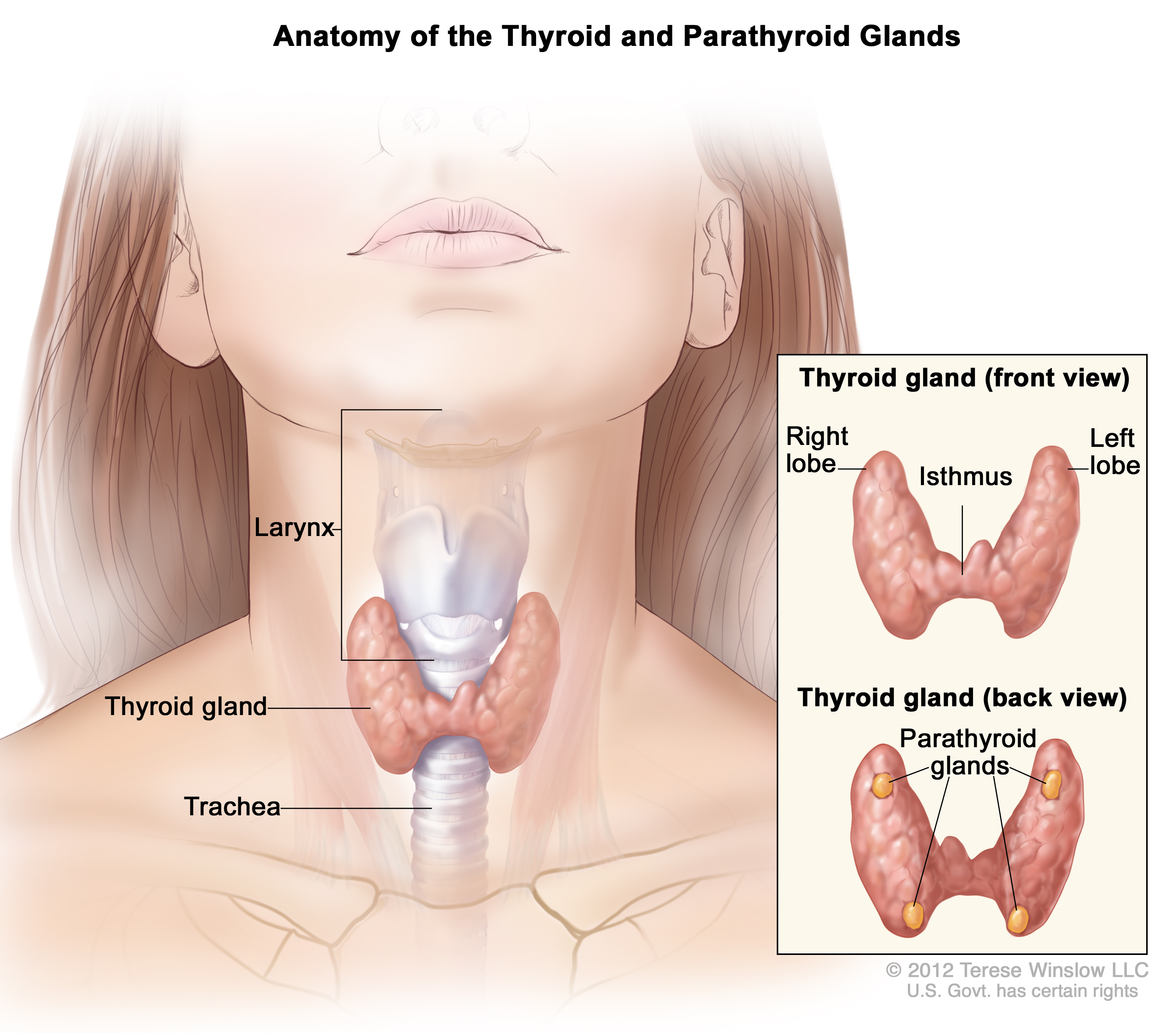Thyroid Gland Patient Siteman Cancer Center