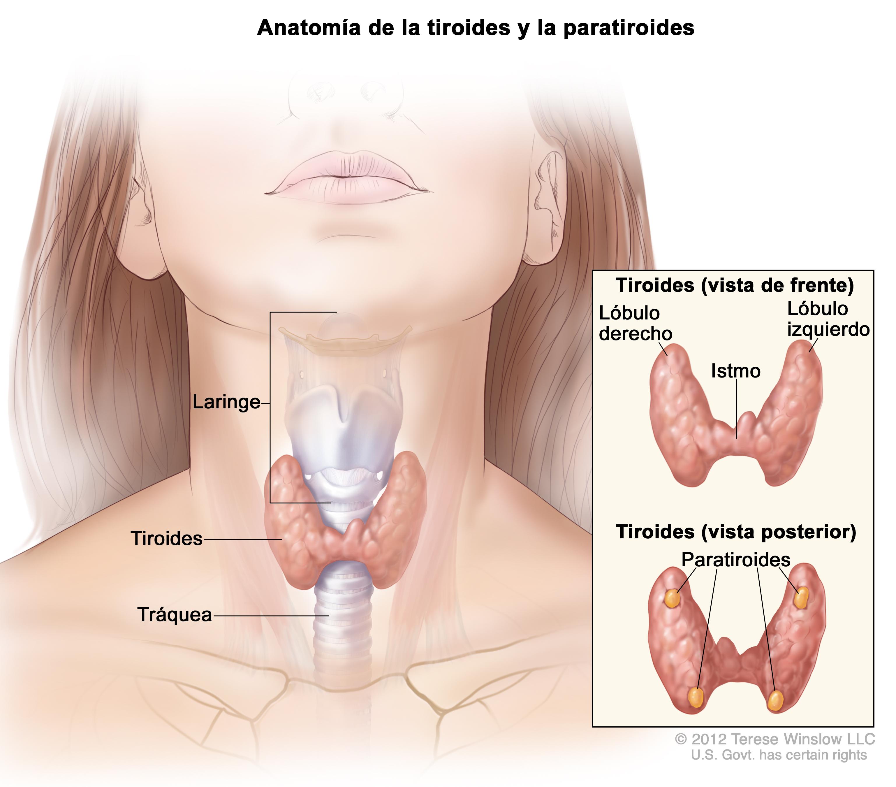 thyroid gland (Patient) - Siteman Cancer Center