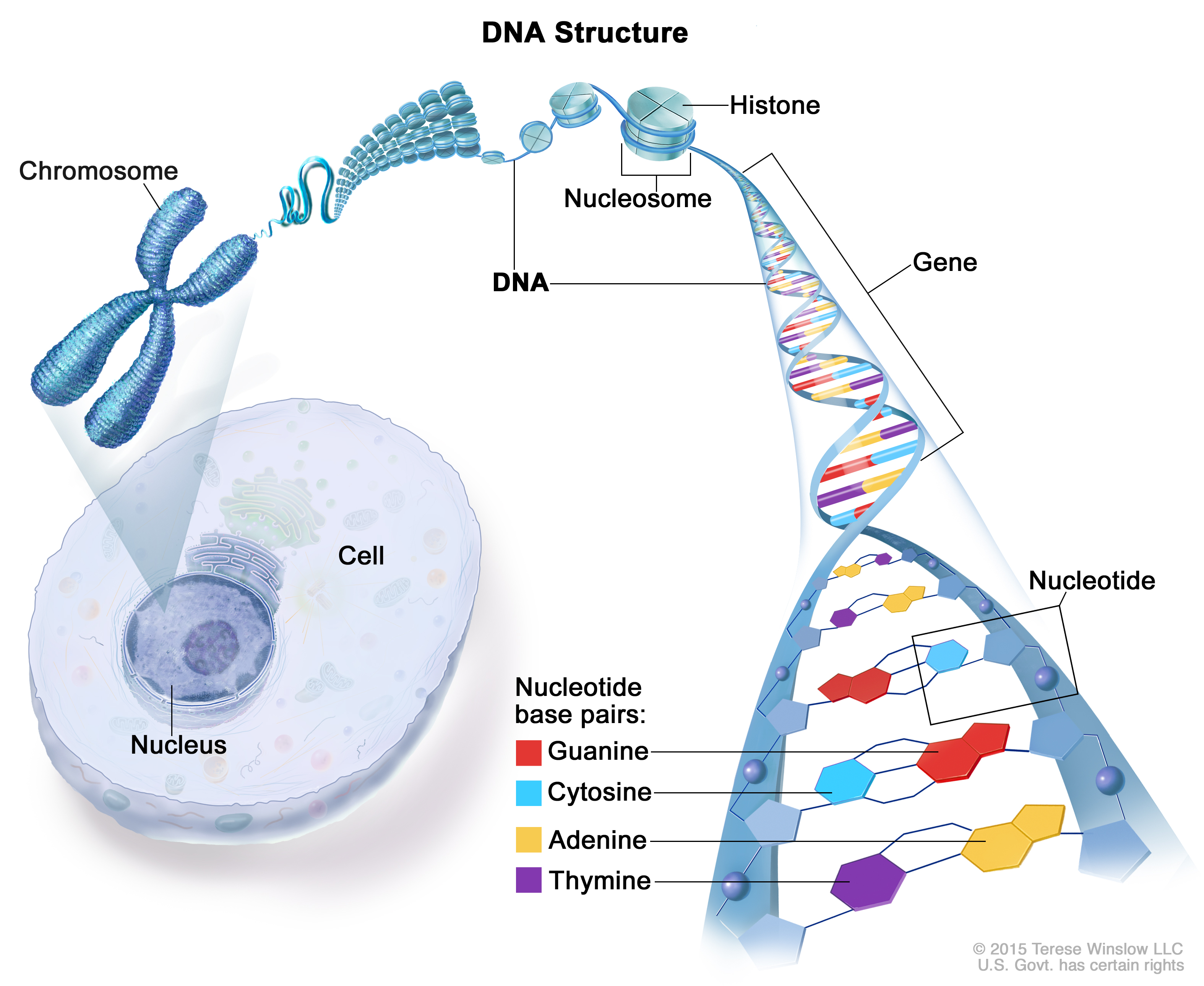 Gene patient siteman cancer center caption structure of dna most dna is found inside the nucleus of a cell where it forms the chromosomes chromosomes have proteins called histones that ccuart Gallery