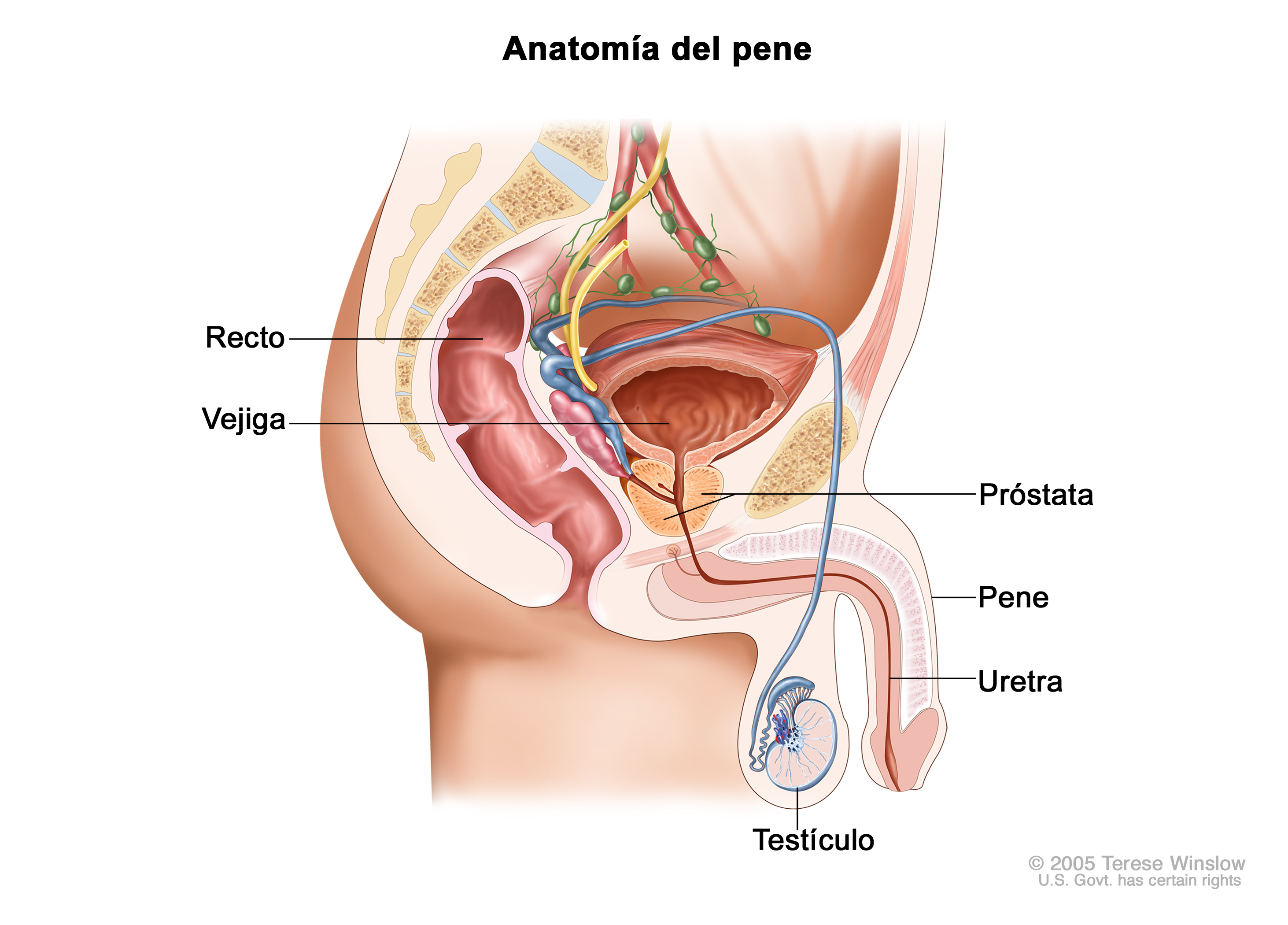 penile cancer (Patient) - Siteman Cancer Center